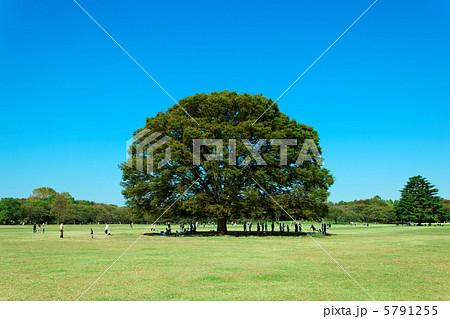 昭和記念公園の大きなケヤキの木と青空 5791255