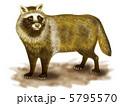 タヌキ 狸 たぬきのイラスト 5795570