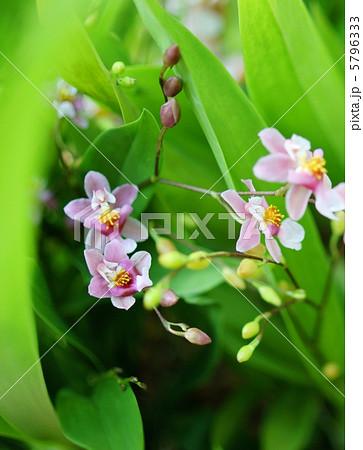 蘭(ラン) トゥインクル 花言葉:美人 Orchid 5796333