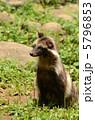 陸上動物 タヌキ ホンドタヌキの写真 5796853
