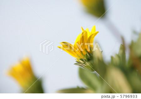 黄色い花 5796933
