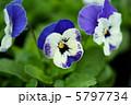 ビオラ 花言葉:誠実な愛 Viola Flowers 5797734