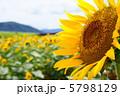 ひまわり ヒマワリ 夏の花の写真 5798129