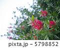 ブラシノキ ブラシの木 カリステモンの写真 5798852