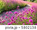 草花 千日紅 センニチコウの写真 5802138