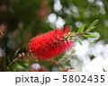 キンポウジュ ブラシの木 ブラシノキの写真 5802435