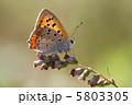 ちょう シジミチョウ チョウの写真 5803305
