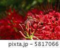 マンジュシャゲ ヒガンバナ アカトンボの写真 5817066