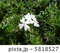 花爪草 ハナツメクサ モスフロックスの写真 5818527