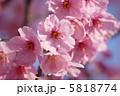 河津桜 ピンクの花 カワヅザクラの写真 5818774
