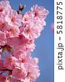 河津桜 ピンクの花 カワヅザクラの写真 5818775