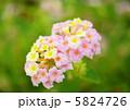 ランタナ 七変化 シチヘンゲの写真 5824726