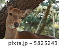 奈良公園の鹿2 5825243