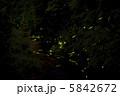 ほたる 蛍 ホタルの写真 5842672