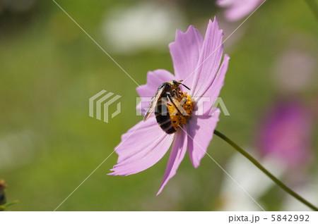コスモスの蜜を吸うアブ 5842992