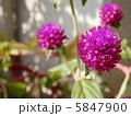 センニチコウ 千日紅 千日草の写真 5847900