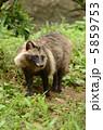 タヌキ ホンドタヌキ 動物の写真 5859753