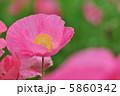 ヒナゲシ 虞美人草 グビジンソウの写真 5860342