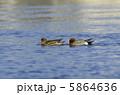メス 成鳥 ヒドリガモの写真 5864636
