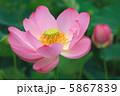 古代蓮 ハス 花の写真 5867839