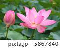 古代蓮 ハス 花の写真 5867840
