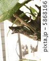 蛹 あげはちょう アゲハ蝶の写真 5868166