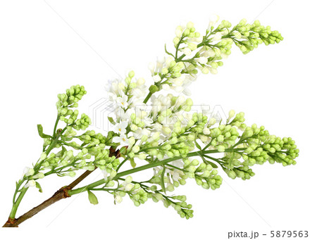 Branch of white lilac without leafの写真素材 [5879563] - PIXTA