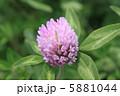 紫詰草 ムラサキツメクサ アカツメクサの花の写真 5881044