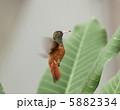 ハチドリ 5882334