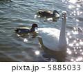 水面に浮かぶ白鳥と鴨たち 5885033