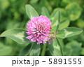 赤クローバー 紫詰草 ムラサキツメクサの写真 5891555