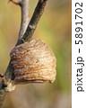 たまご 卵 蟷螂の写真 5891702