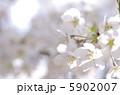 さくら 櫻 桜の写真 5902007