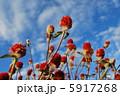 千日草の花と空 5917268
