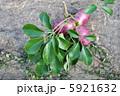 野木瓜 郁子 むべの写真 5921632