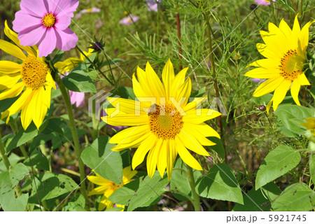 ヒマワリとミツバチ 5921745