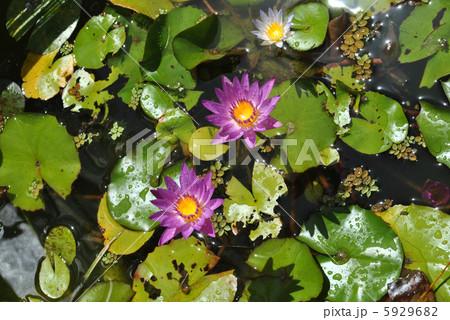 蓮の花 5929682