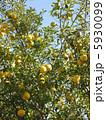柑橘類 ゆず 柚子の写真 5930099