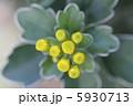 イソギク 磯菊 いそぎくの写真 5930713