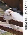 山羊 家畜 やぎの写真 5931741
