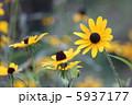 アラゲハンゴンソウ キヌガサギク ルドベキアの写真 5937177
