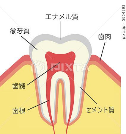 歯の構造のイラスト素材 [5954293 ... : 体の名前 イラスト : イラスト