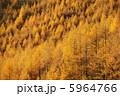 カラマツ 落葉松 黄葉の写真 5964766