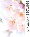 さくら サクラ 桜の写真 5971966