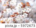 山桜 ヤマザクラ やまざくらの写真 5972673