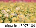 コスモス畑 こすもす お花畑の写真 5975100