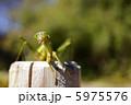 虫 昆虫 カマキリの写真 5975576