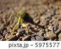 虫 昆虫 カマキリの写真 5975577