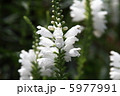 フィソスティギア 花虎尾 カクトラノオの写真 5977991