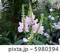 フィソステギア 角虎の尾 カクトラノオの写真 5980394